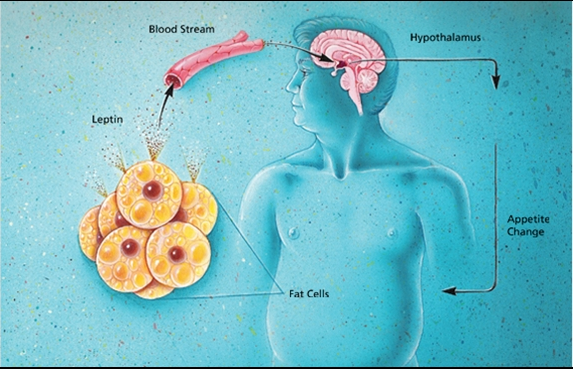 leptina-per-accelerare-il-metabolismo