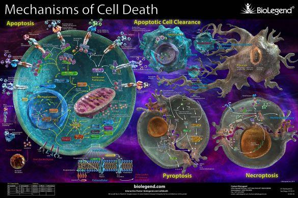 digiuno rinnovamento cellulare
