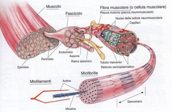 ipertrofia muscolo scheletrico