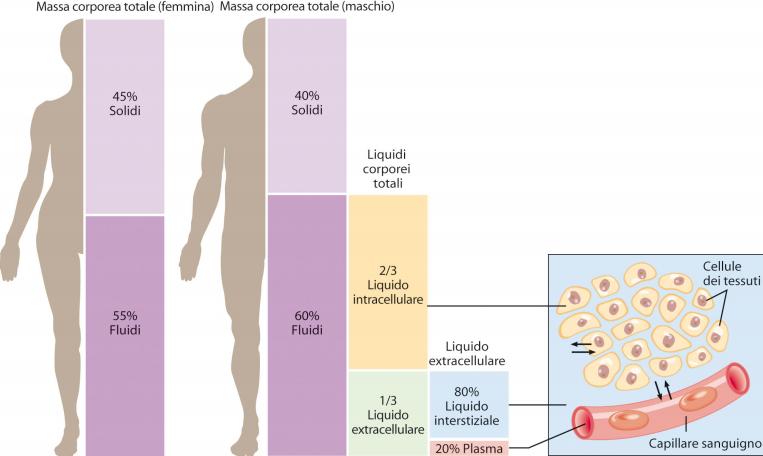liquidi nel corpo