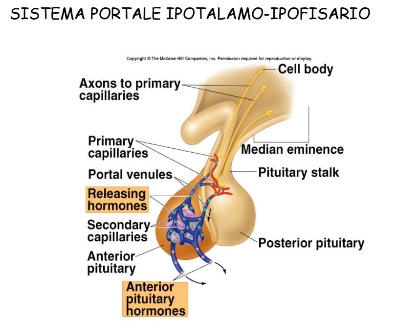 catabolismo cortisolo