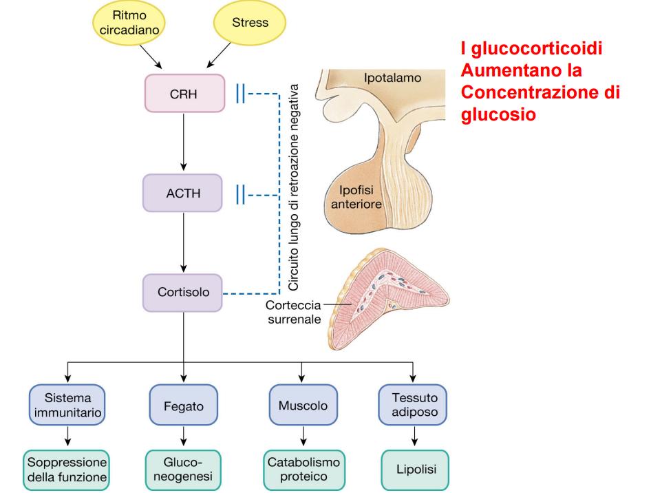muscoli cortisolo